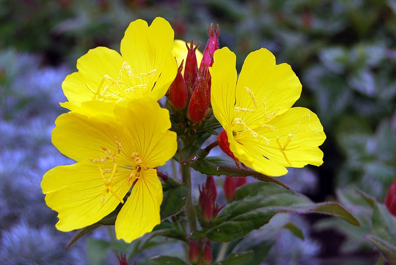 high definition cool blooming primrose wallpapers