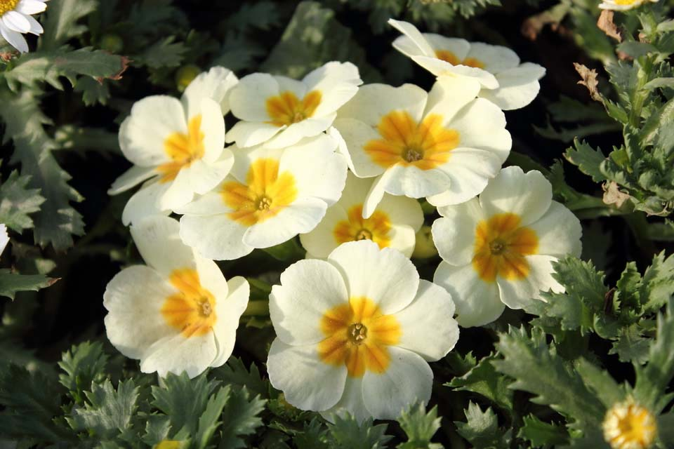 High Quality Free Exclusive Hd Primrose Flower Pictures