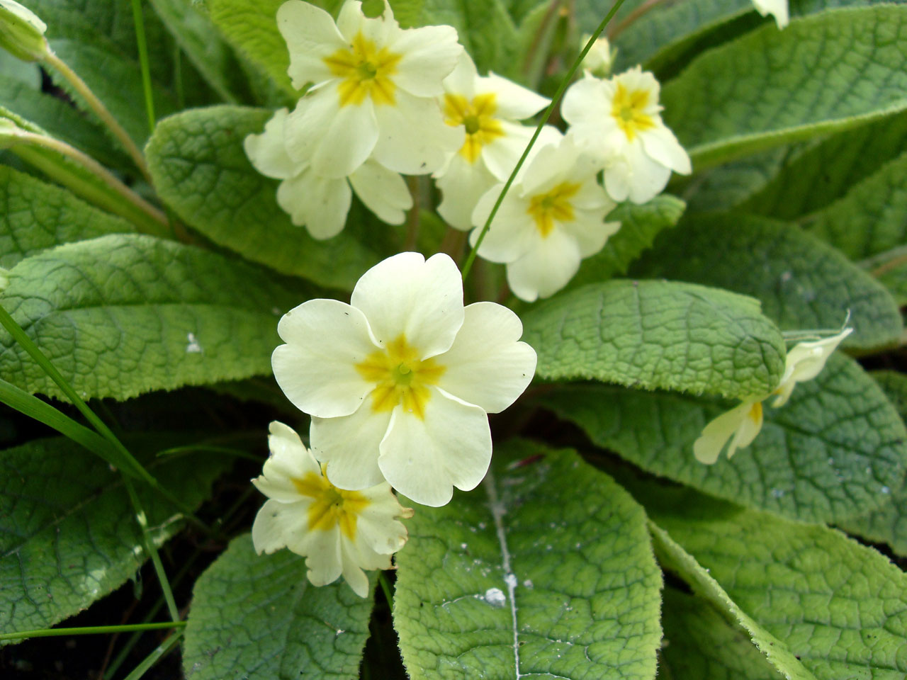high quality free lovely hd primrose photos