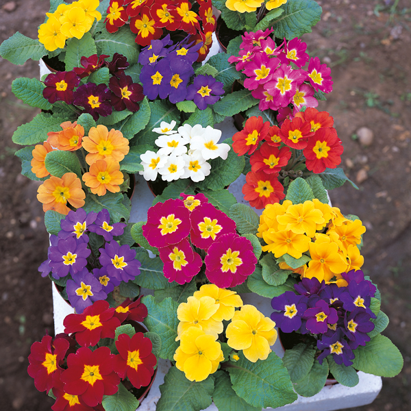high quality latest blooming primrose images