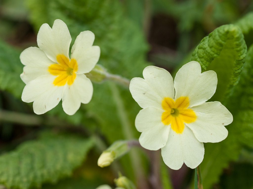 latest blooming primrose image download for mobile