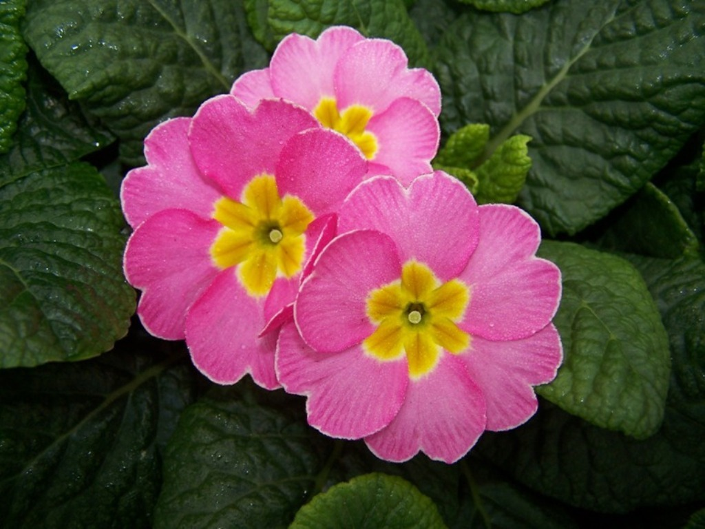 New Blooming Primrose Wallpaper Download For Mobile