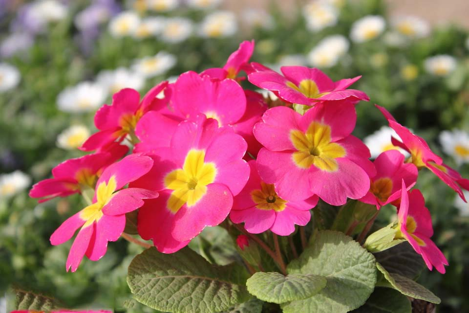 pretty primrose flower images free download
