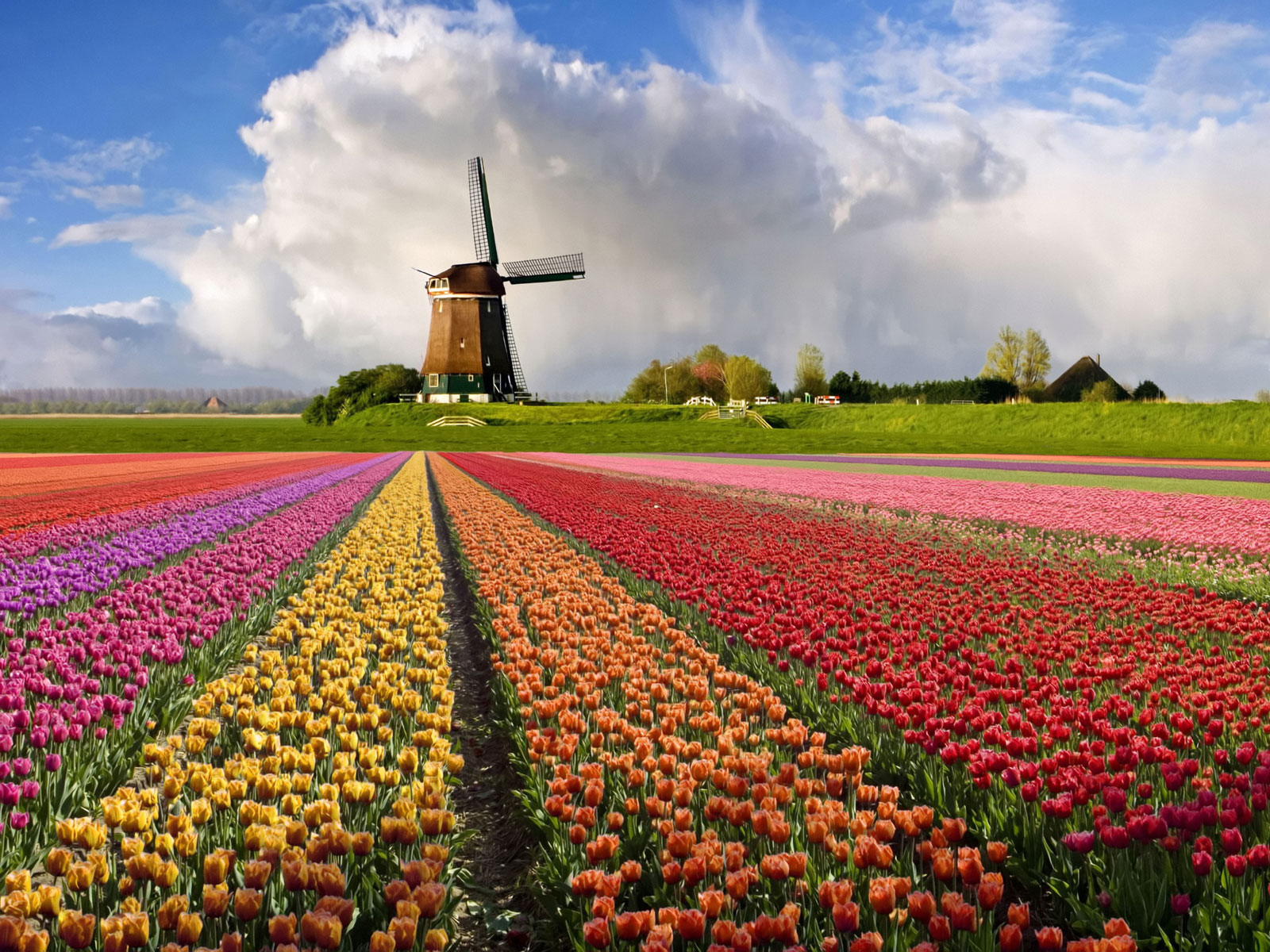 beautiful tulips spring hd wallpapers mobile download