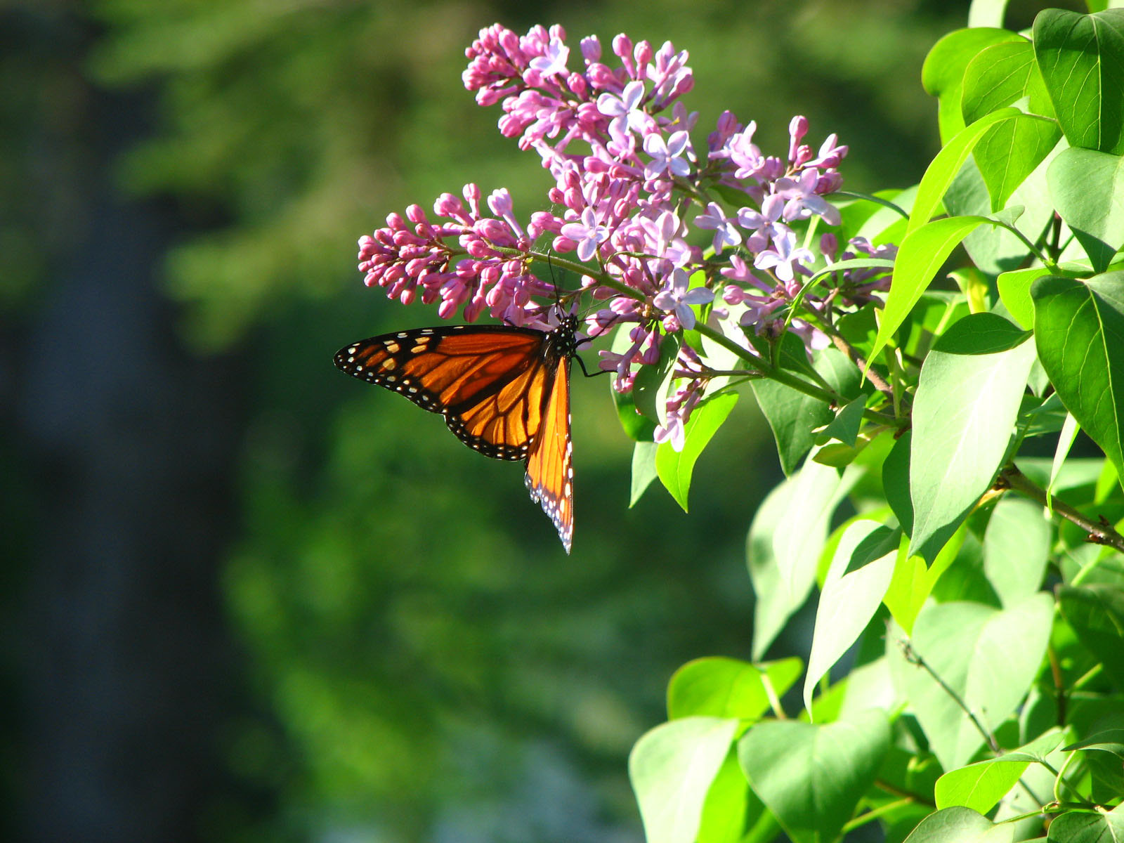 Fantastic Wallpaper Butterfly Spring - butterfly-hd-free-wallpapers-spring-season-free-hd  Collection_557511.jpg