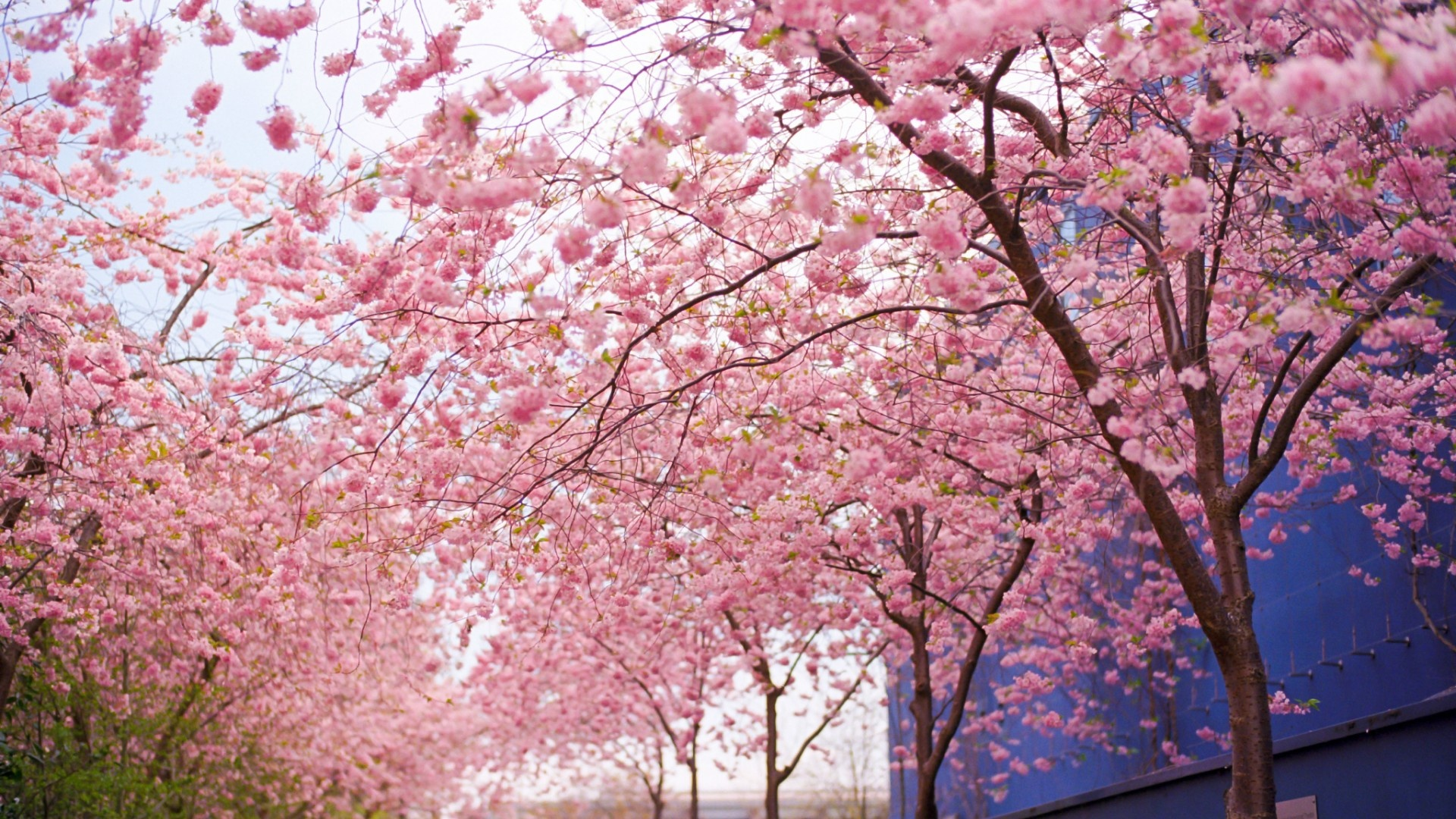 cherry blossom flowers spring wallpapers free download