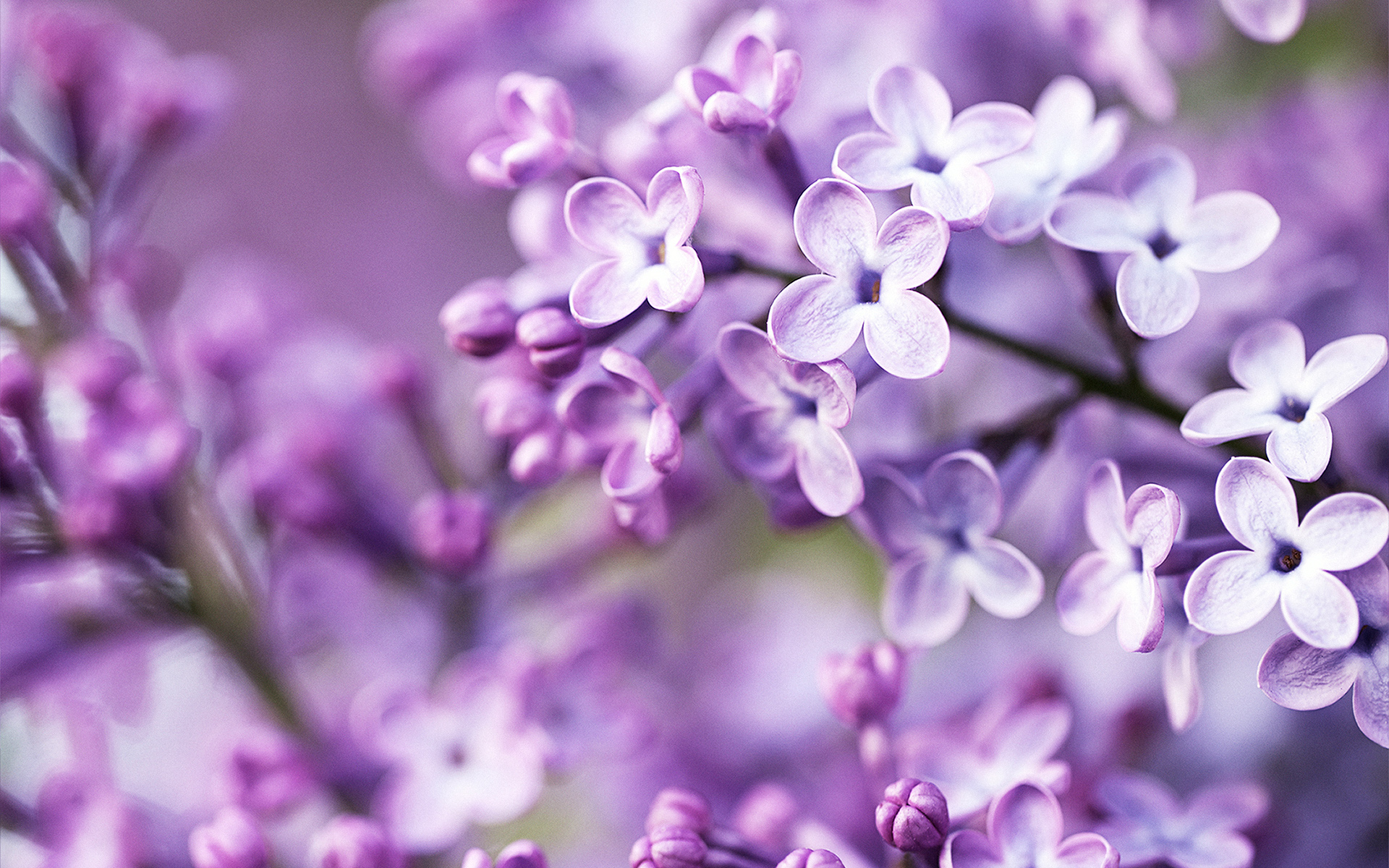 purple spring flowers wallpaper hd picture free download