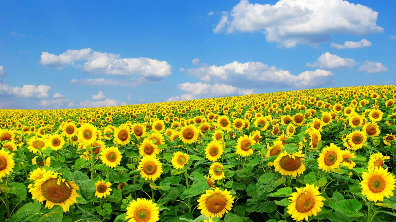 sunflower wallpaper images and picture download amazing views