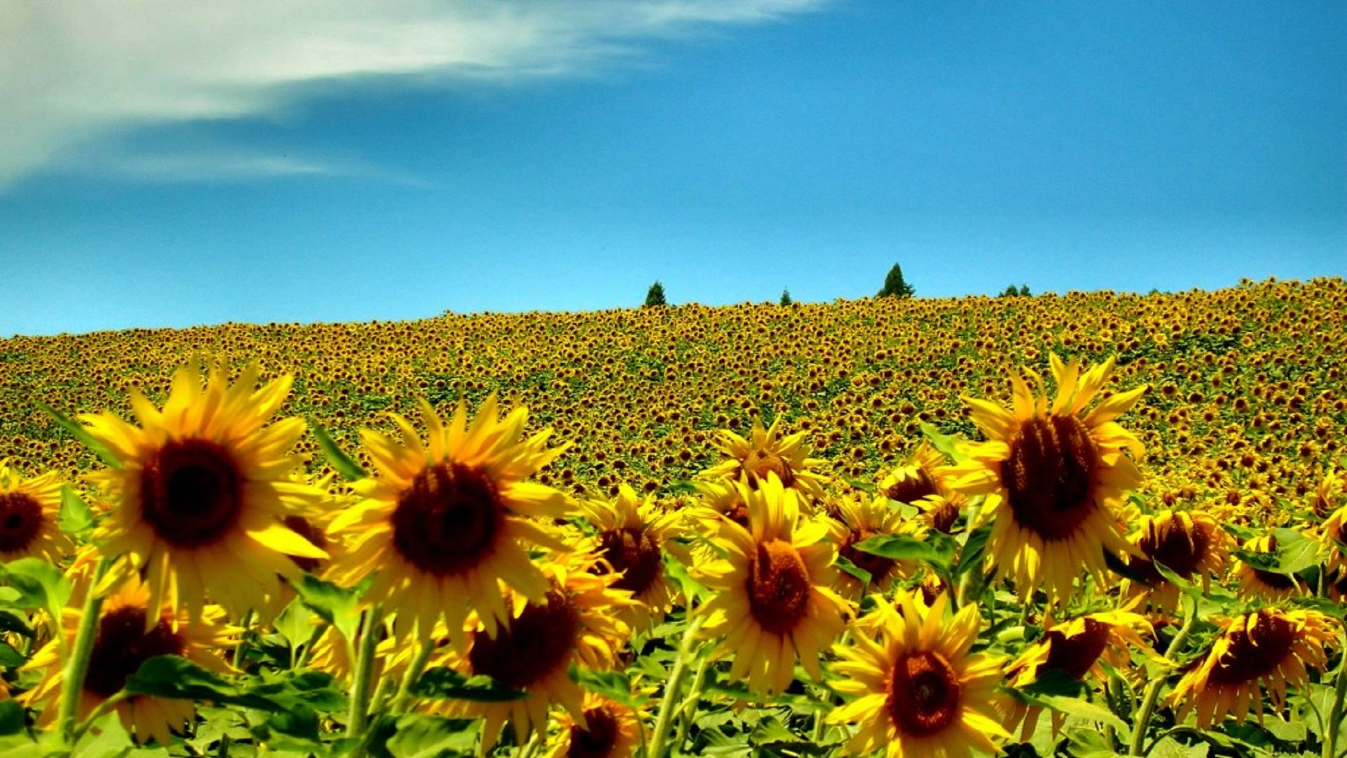 sunflowers summer season hd free wallpapers for desktops free