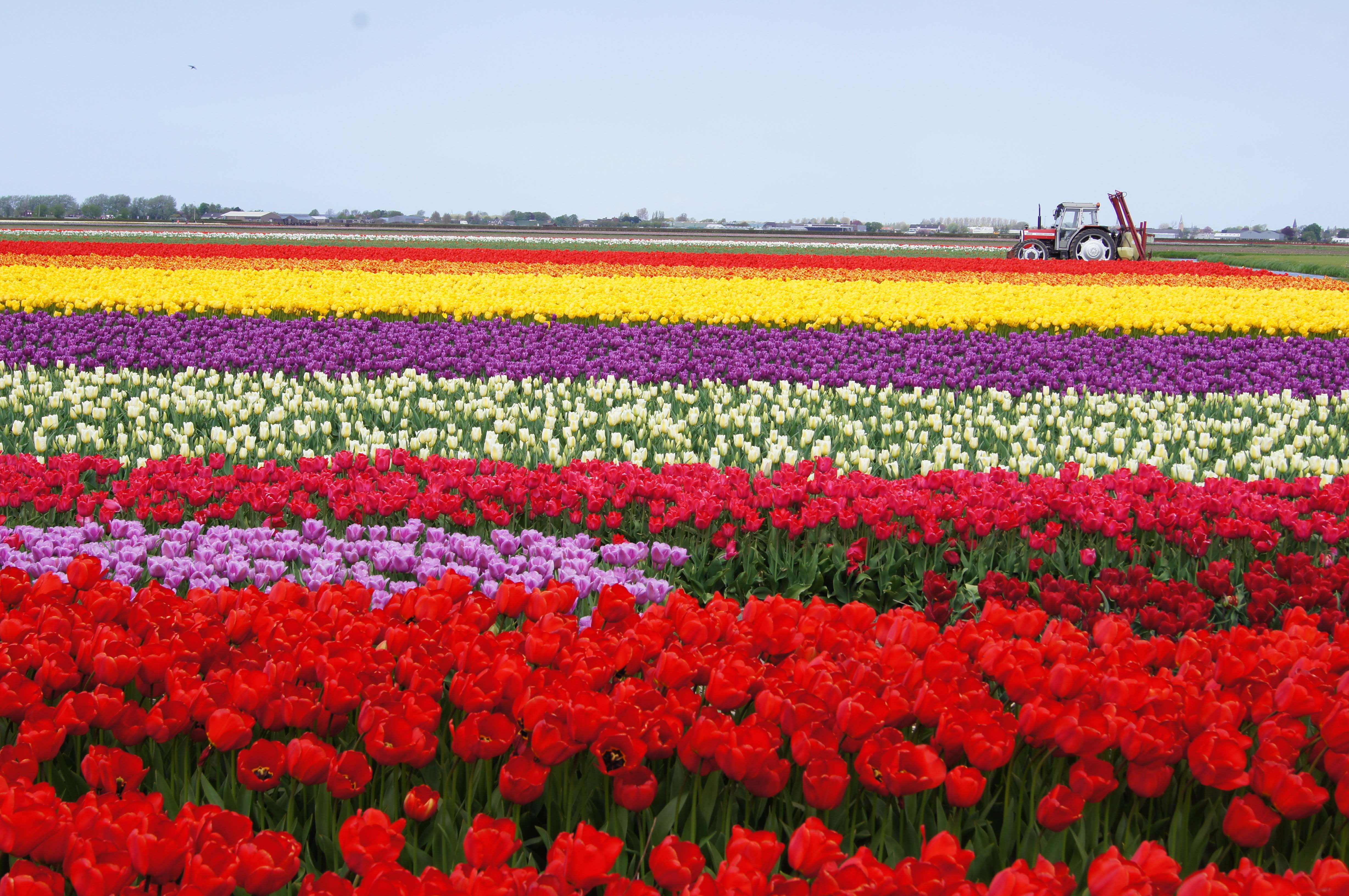 Amazing And Lovely Beautiful Mied Tulips Graden Free