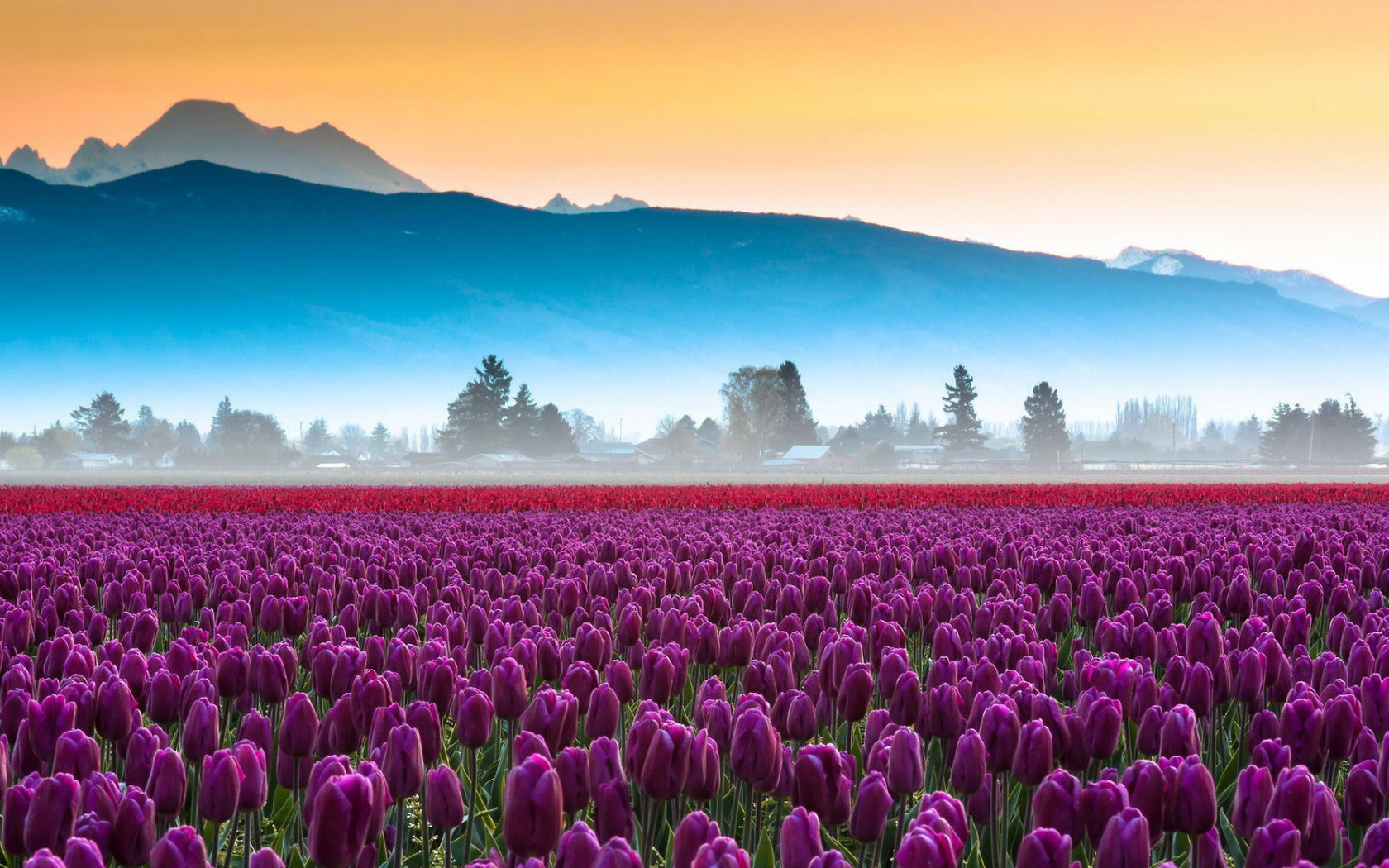 Amazing Best Purple Ornamental Tulip Field Download Free