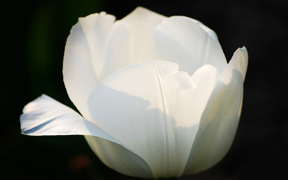 Beautiful White Tulip Pictures Free Download Imges