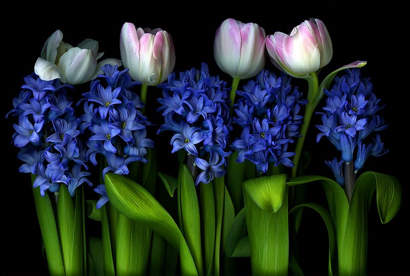 Blue Buds Tulips Flower Wallpaper Free Download Pictures