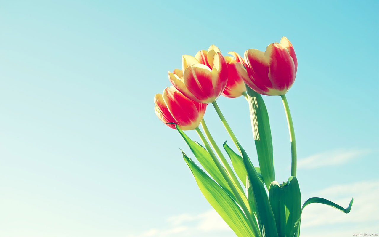 carrying of cut tulip flowers images free