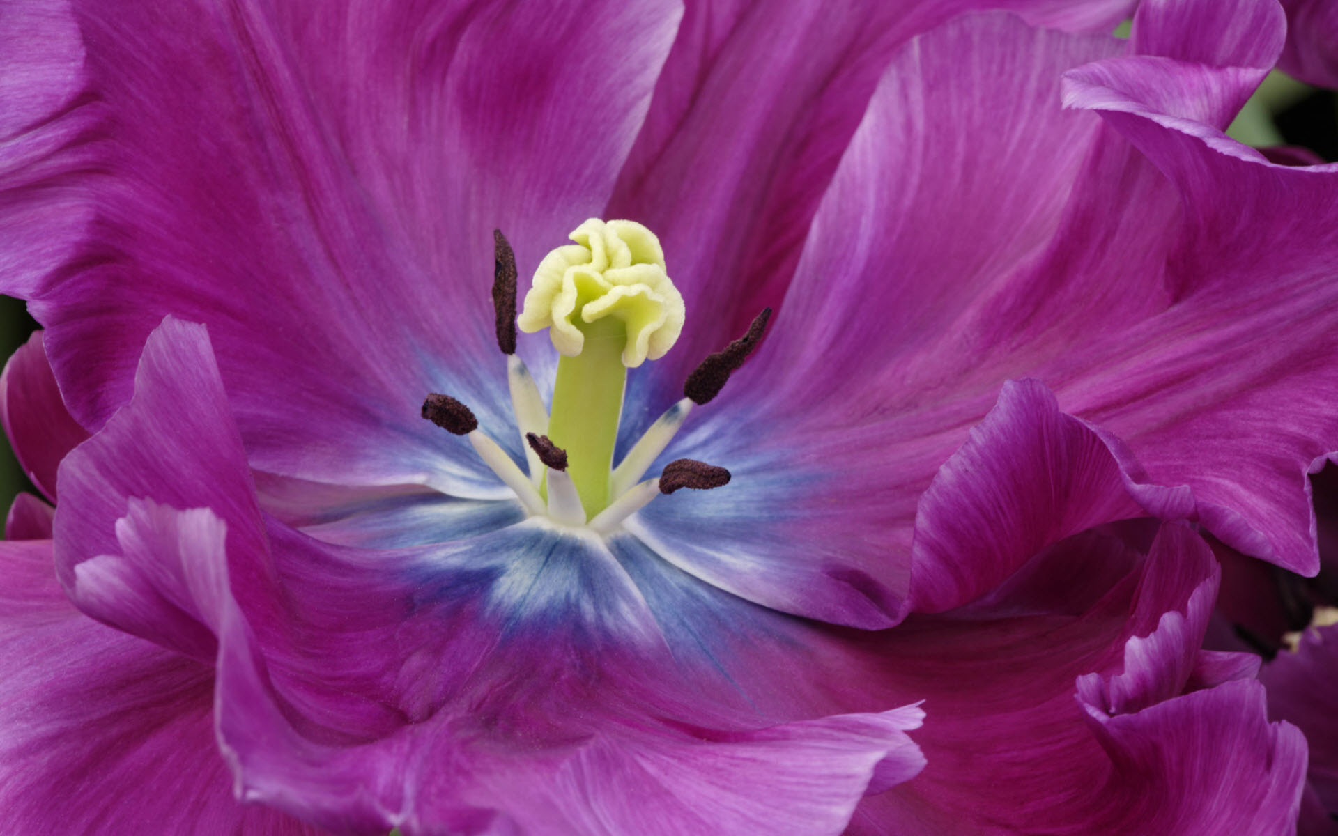 close up of a purple tulip widescreen desktop images