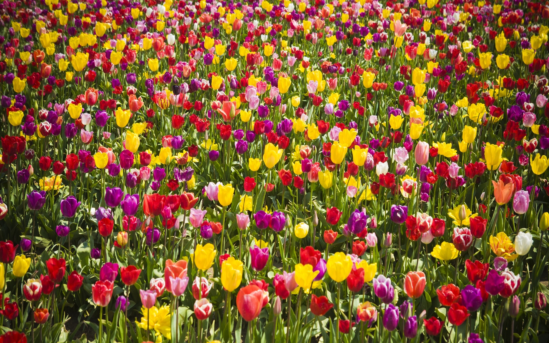 Colorful Beautiful Tulips Free Stock Images Free Download