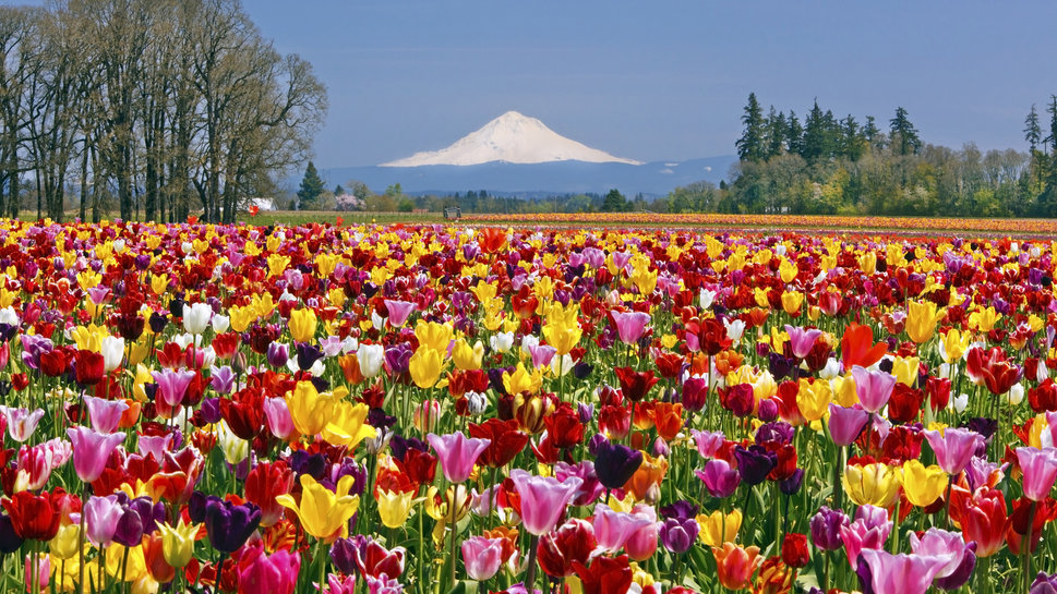colourful flowers are blooming in gardens tulips free