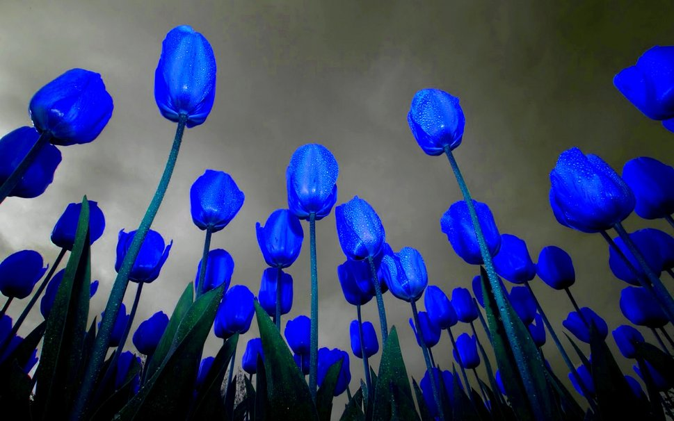 Dark Blue Tulips Flower Free Images