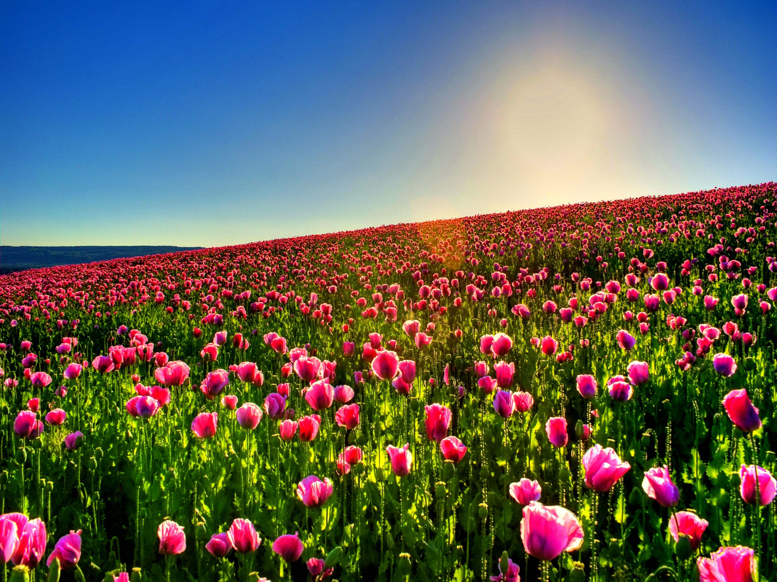 Eautiful Lotus Lovely Tulip Field High Resoultion Images
