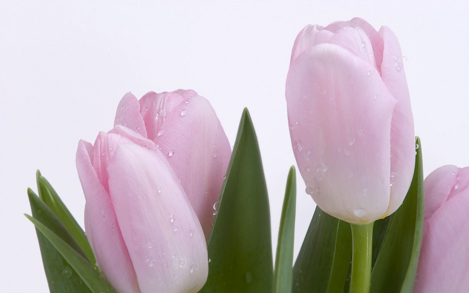 fresh purple new tulip hd wallpaper free beautiful pictures