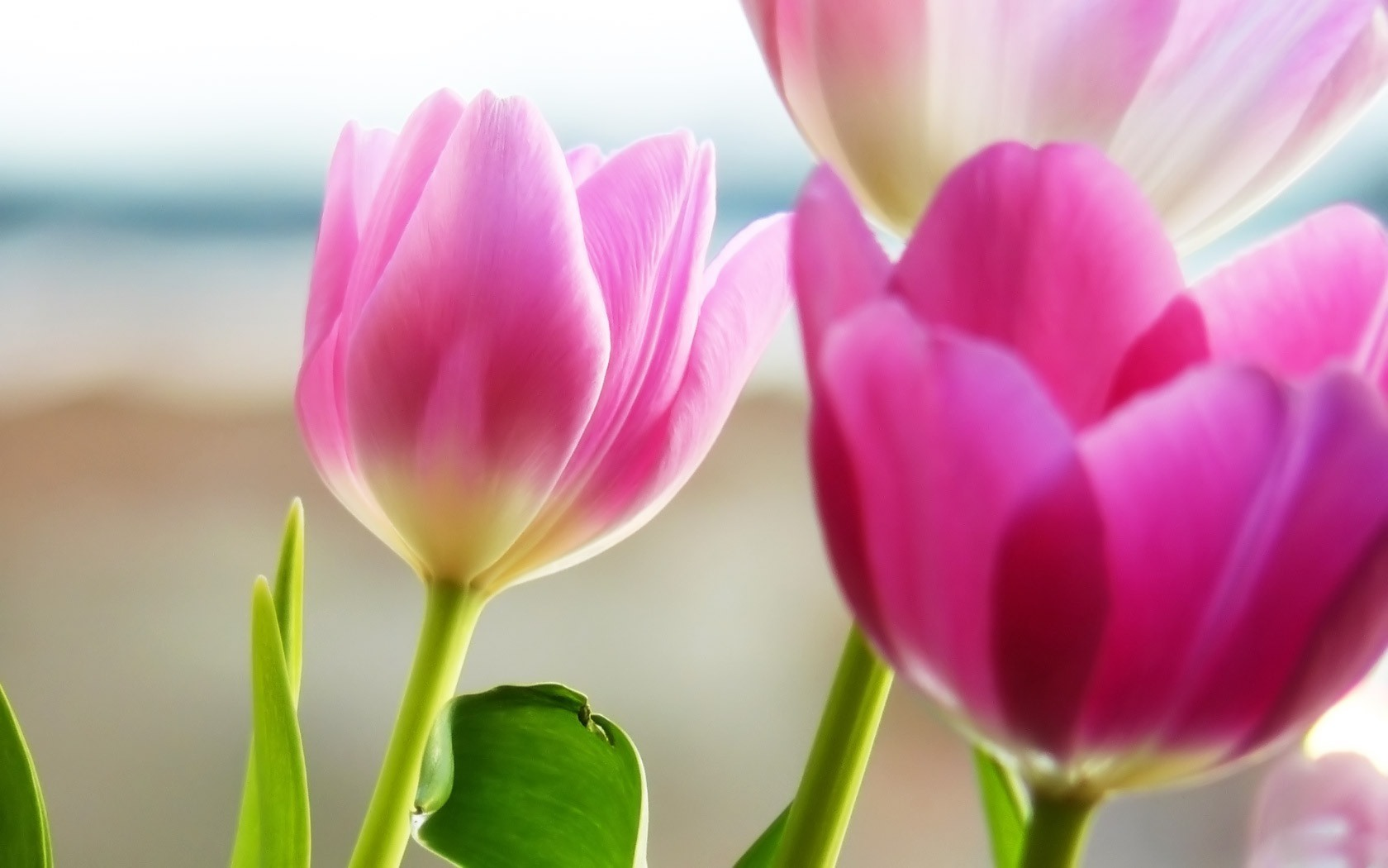 Home Rose Pink Tulip Free Wallpapers