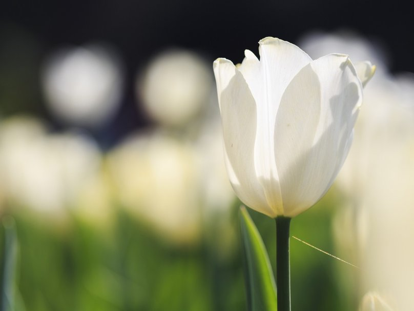 love like white tulip flowers mobile background images