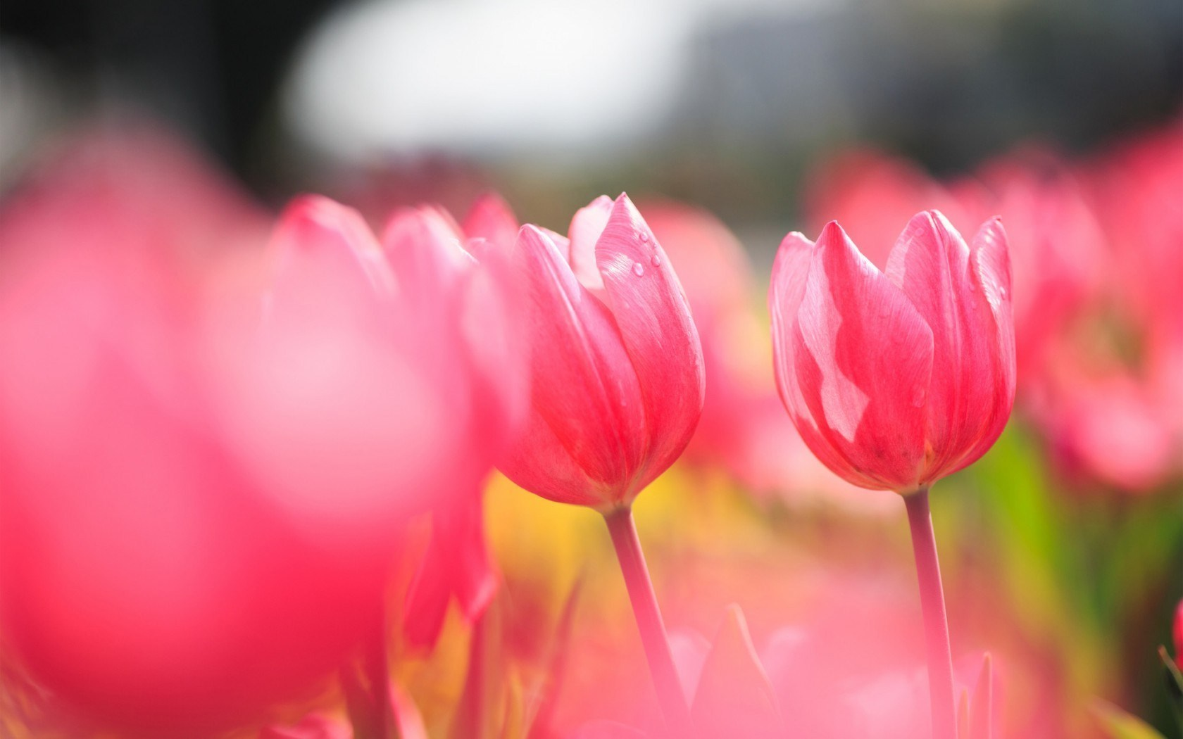 love of flowers pink tulips field widescreen images free