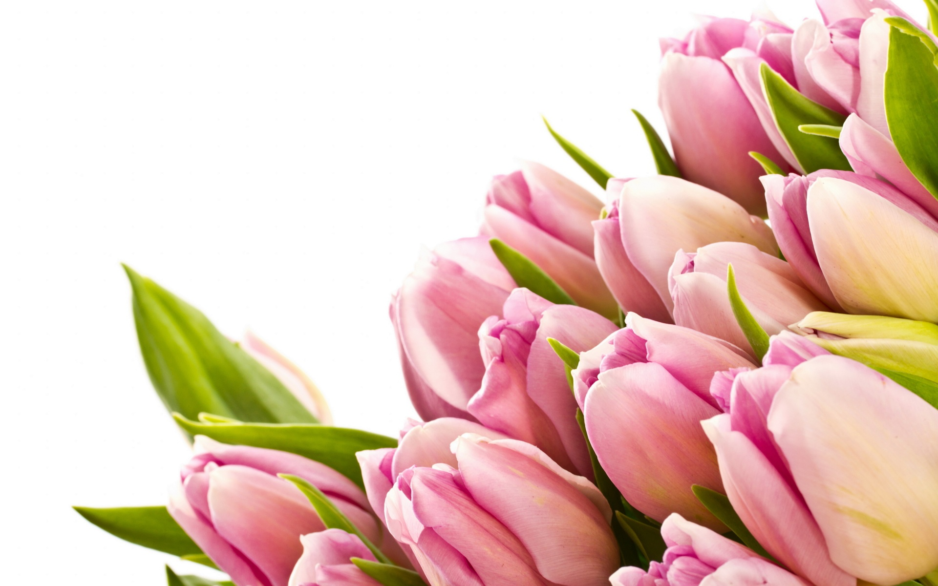 lovely and beautiful buds pink tulips highdifinition images desktop background pictures