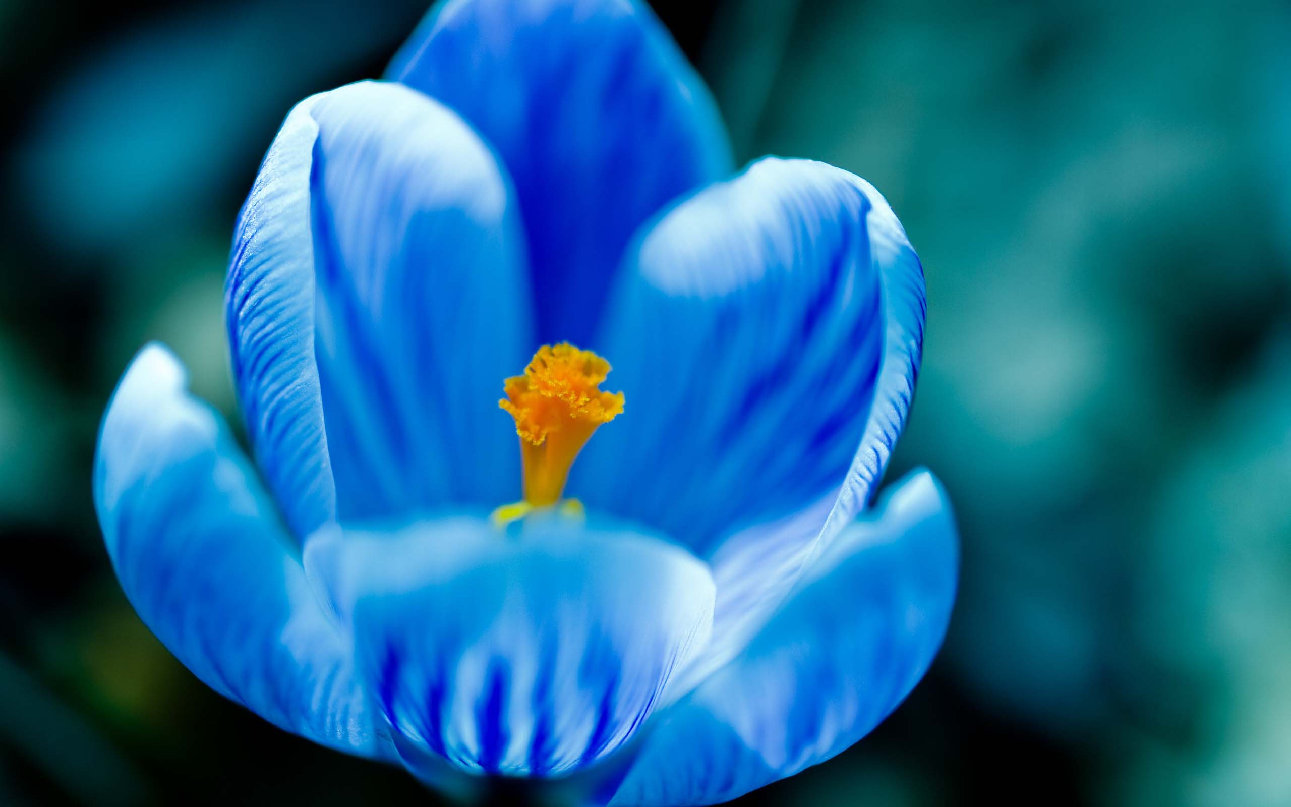 mothers day beautiful flower blue tulip nice images free