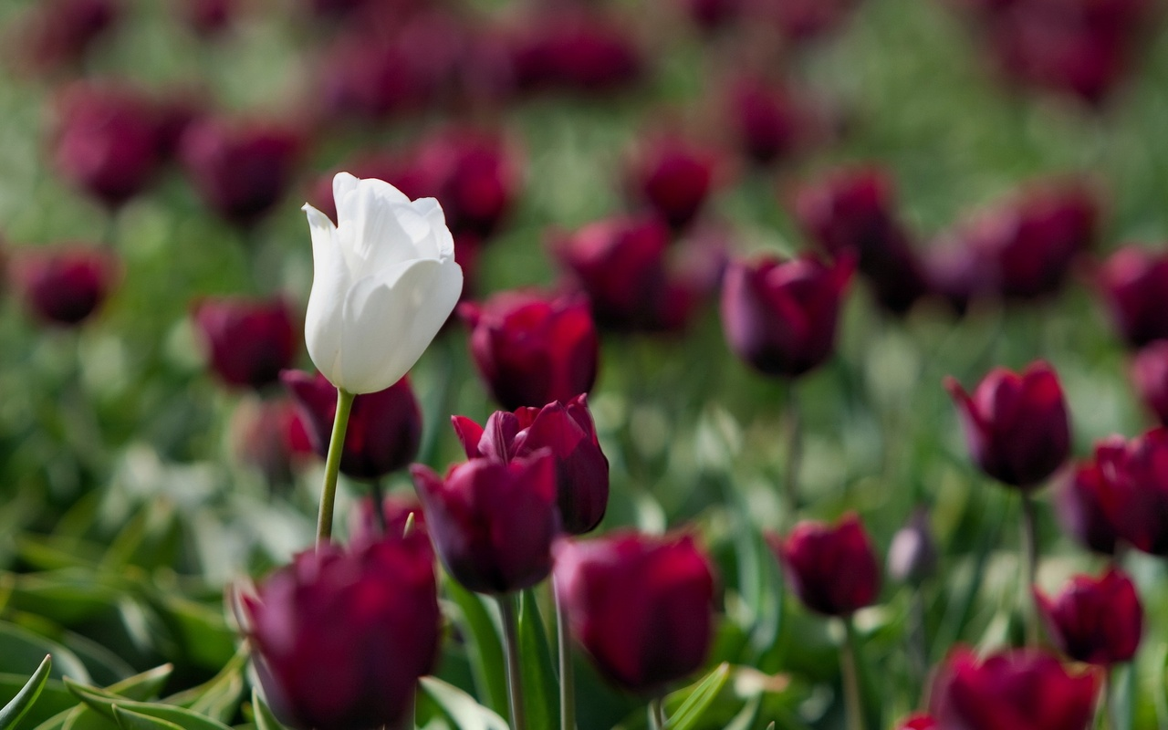 One White Tulip Pictures Free Download Images