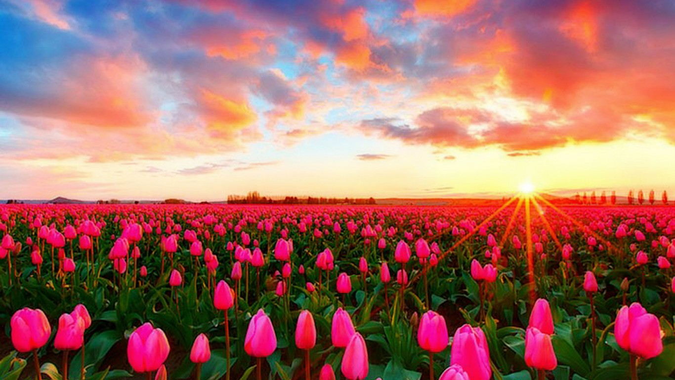 Pink Tulip Field Of Garden Images Free Download Pictures