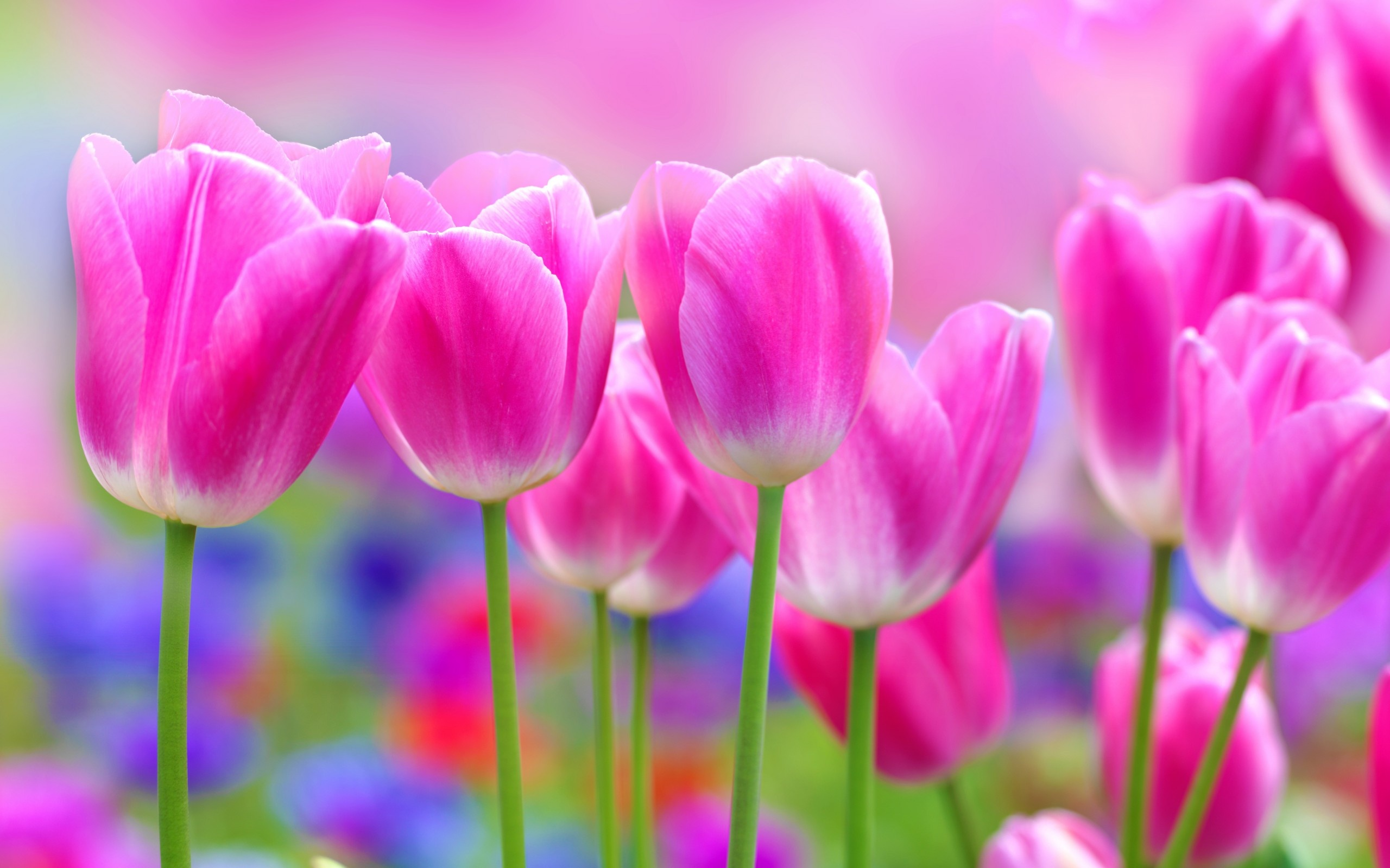 pink tulip impression flowers free wallpaper download