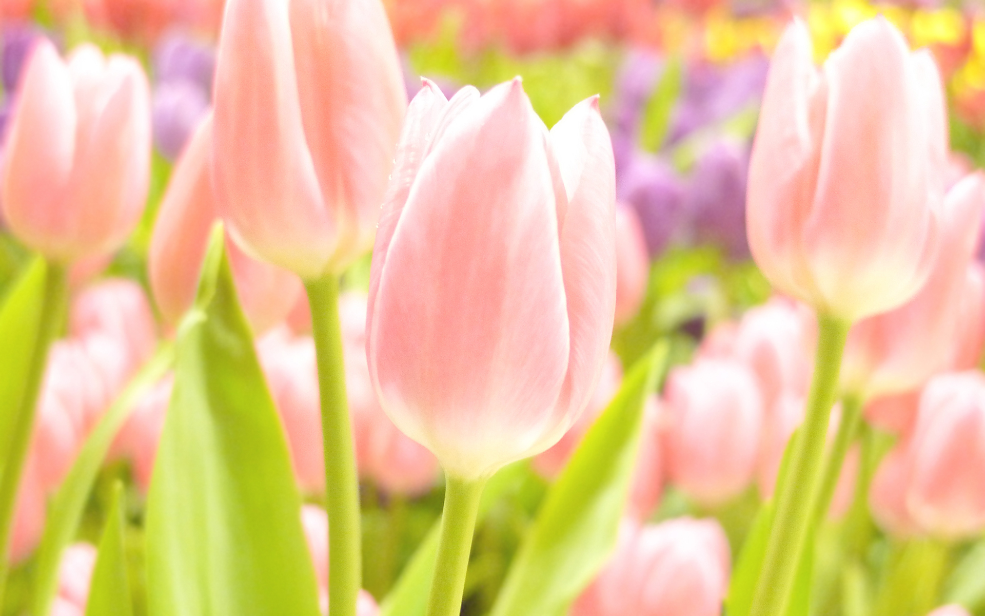 Pink Tulips Bastogne Desktop Widescreen Images Free Downlad Images