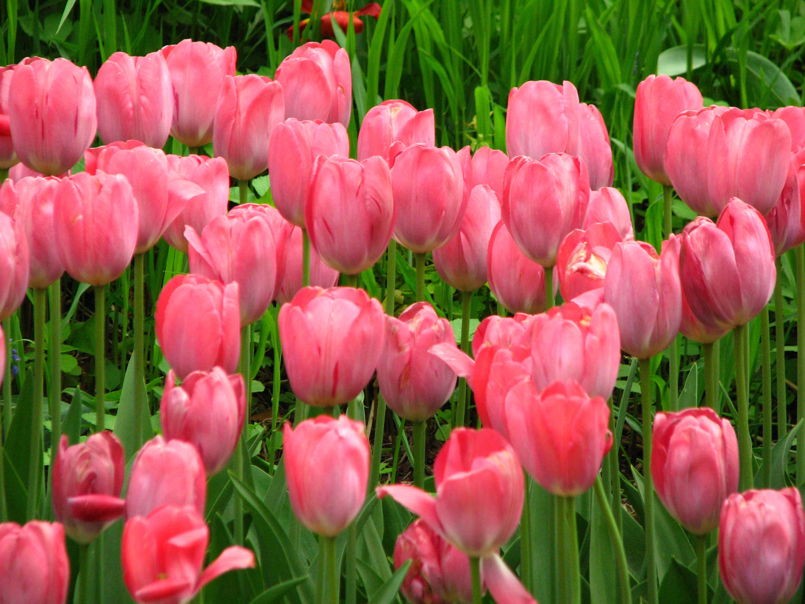 Pink Tulips Scenery Free Download Images