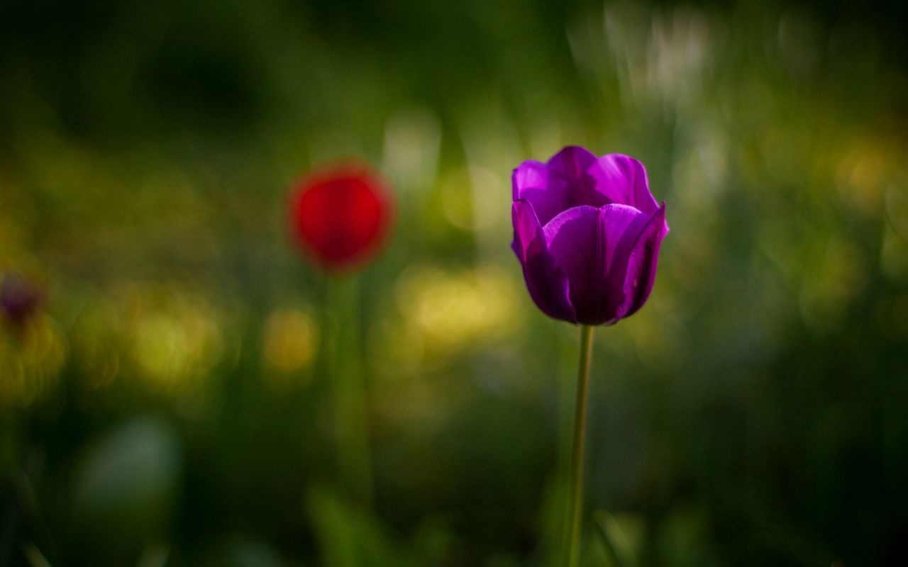 Purple Tulip Dream Buds Mobile Background Hd Download Images