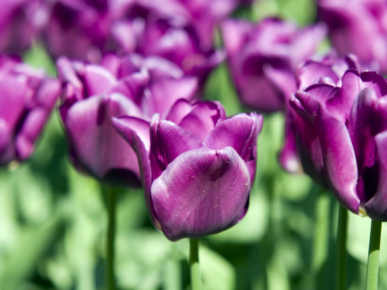 Purple Tulips Bloosms Desktop Free Download Image
