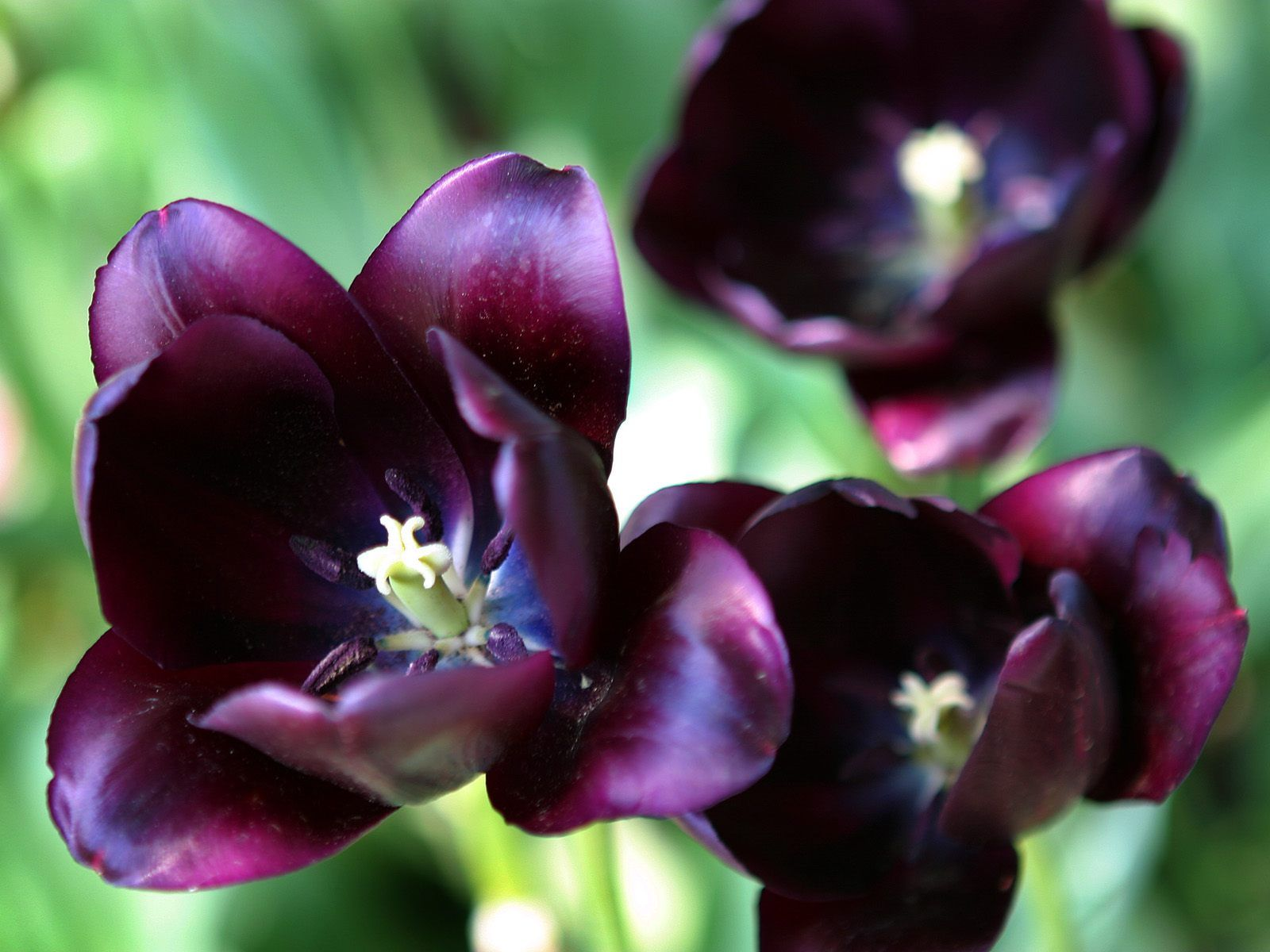 Purple Tulips Bloosms Images Free Download Pictures