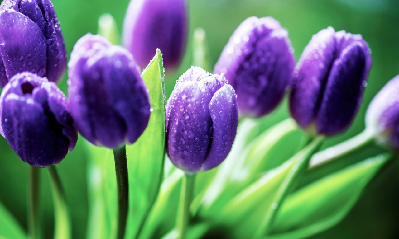 purple tulips flowers leaves water drops free download