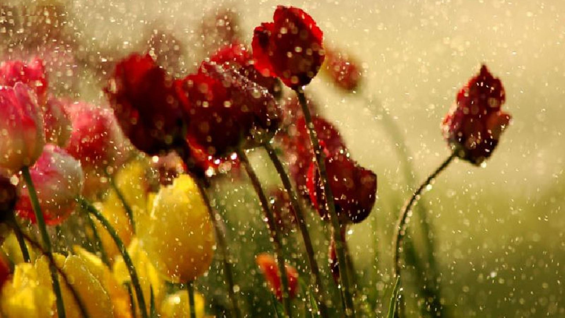 Red Tulips Drops Macro Download Free Wallpapers