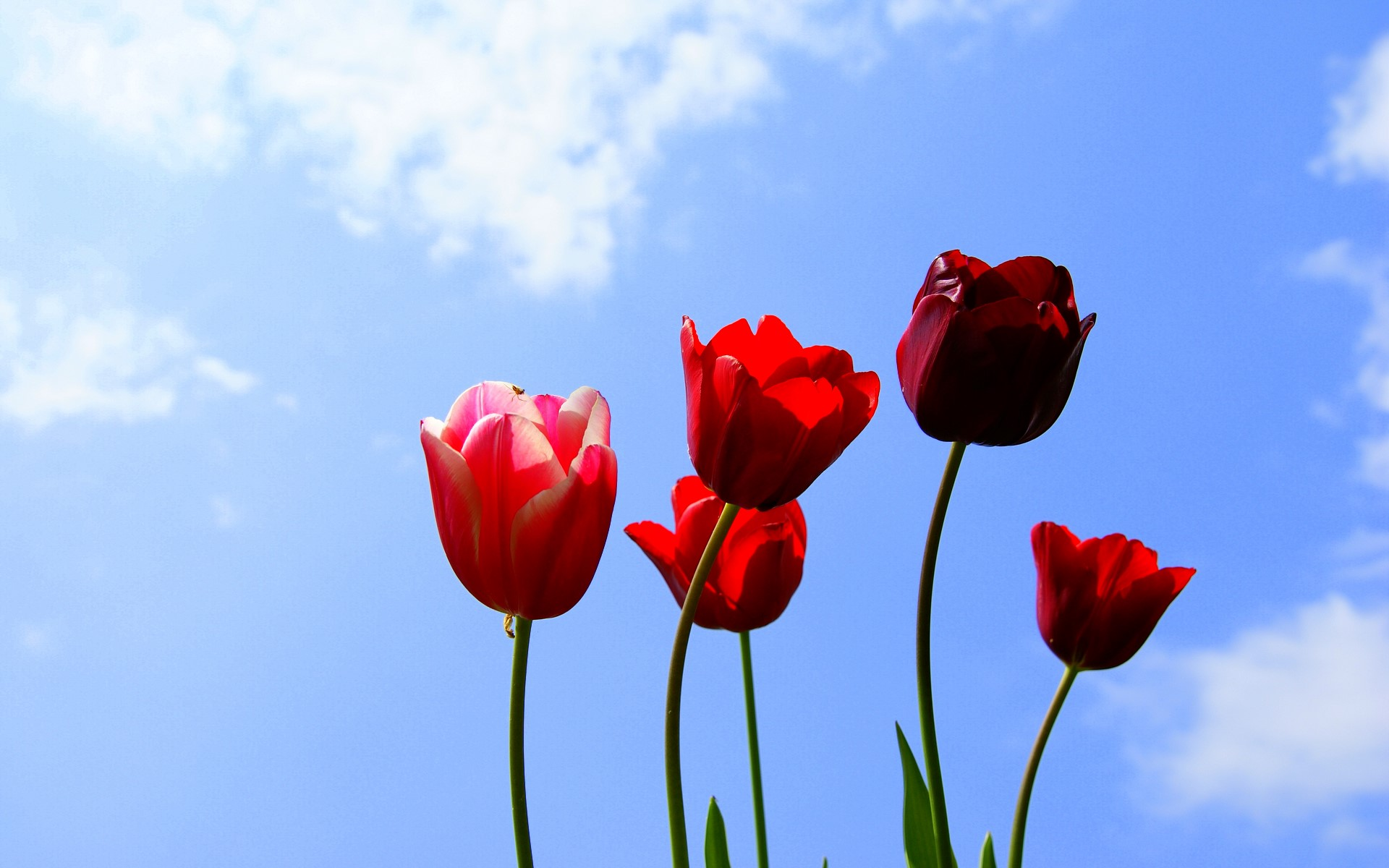 Sky And Red Tulip Fantastic Pictures Free
