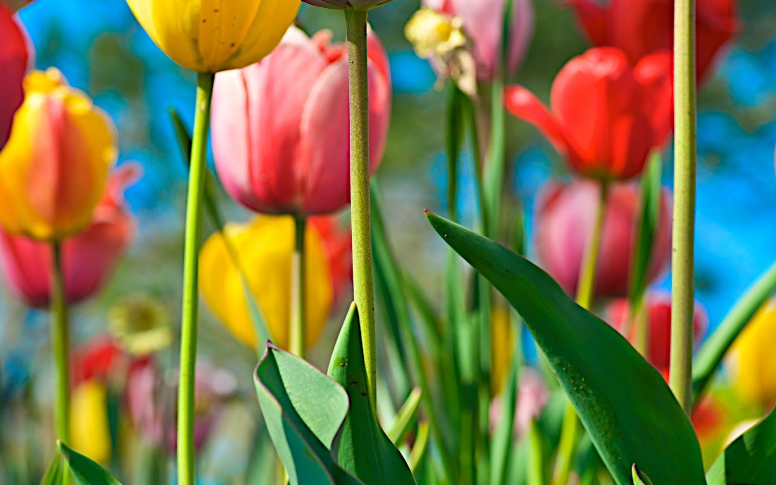 spring tulip flower beds in the chicago botanical gardenstulip tulip flowers wallpapers