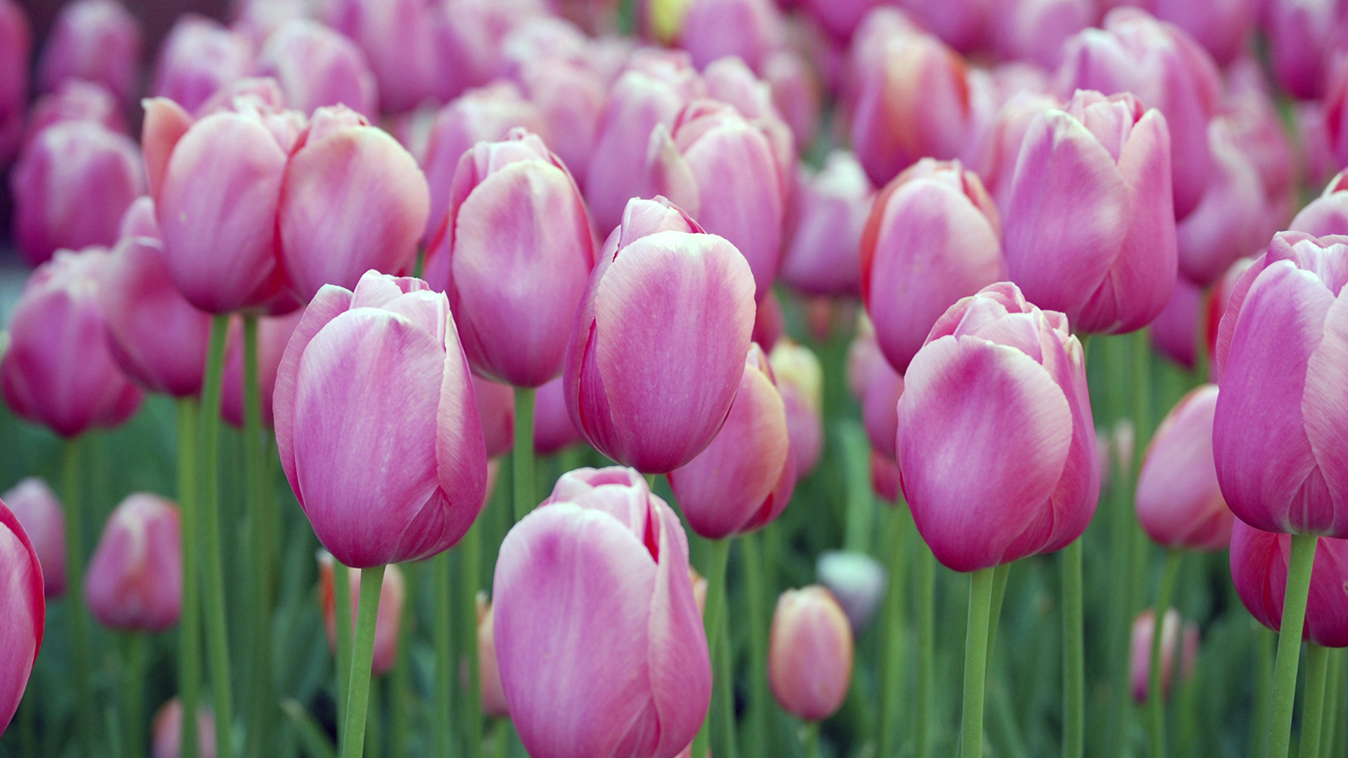 Springs Humpolt Purple Tulips Flower Garden Free