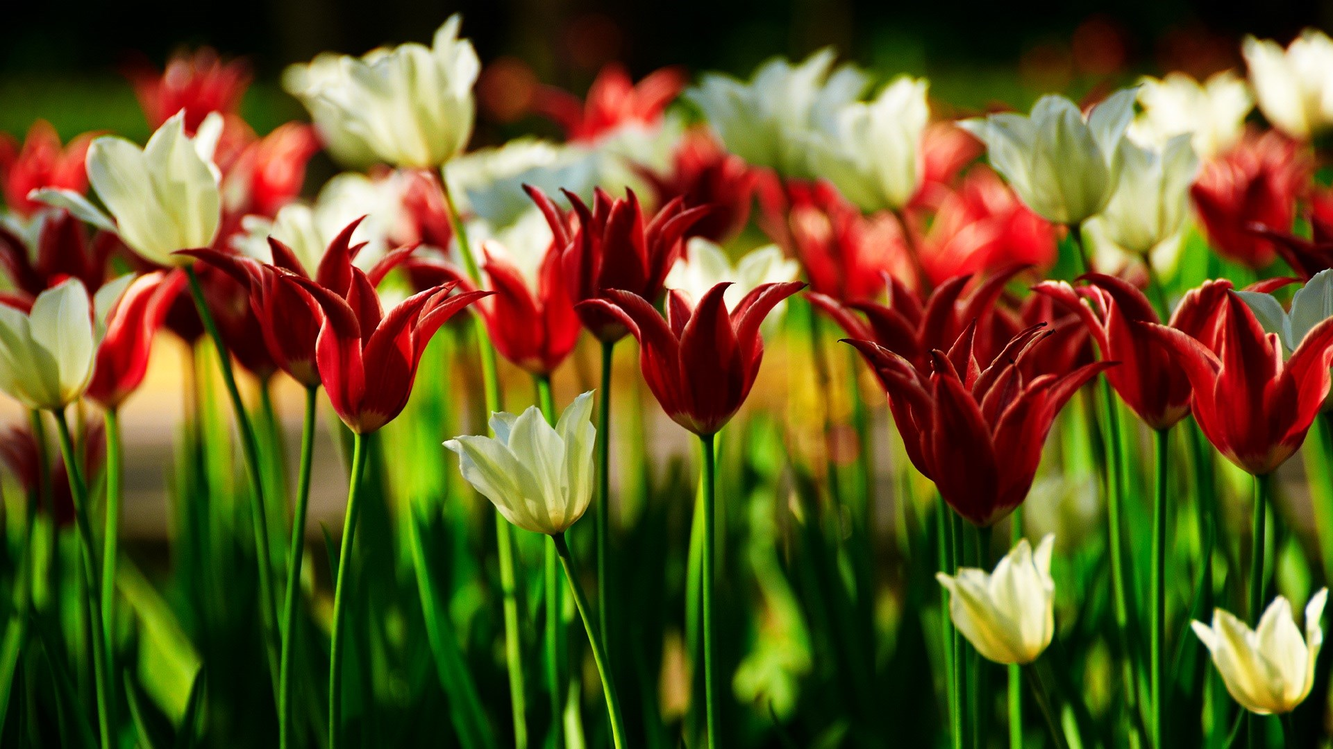 Tulips Kingsblood Field Tulips Hd Wallpaper High Definition