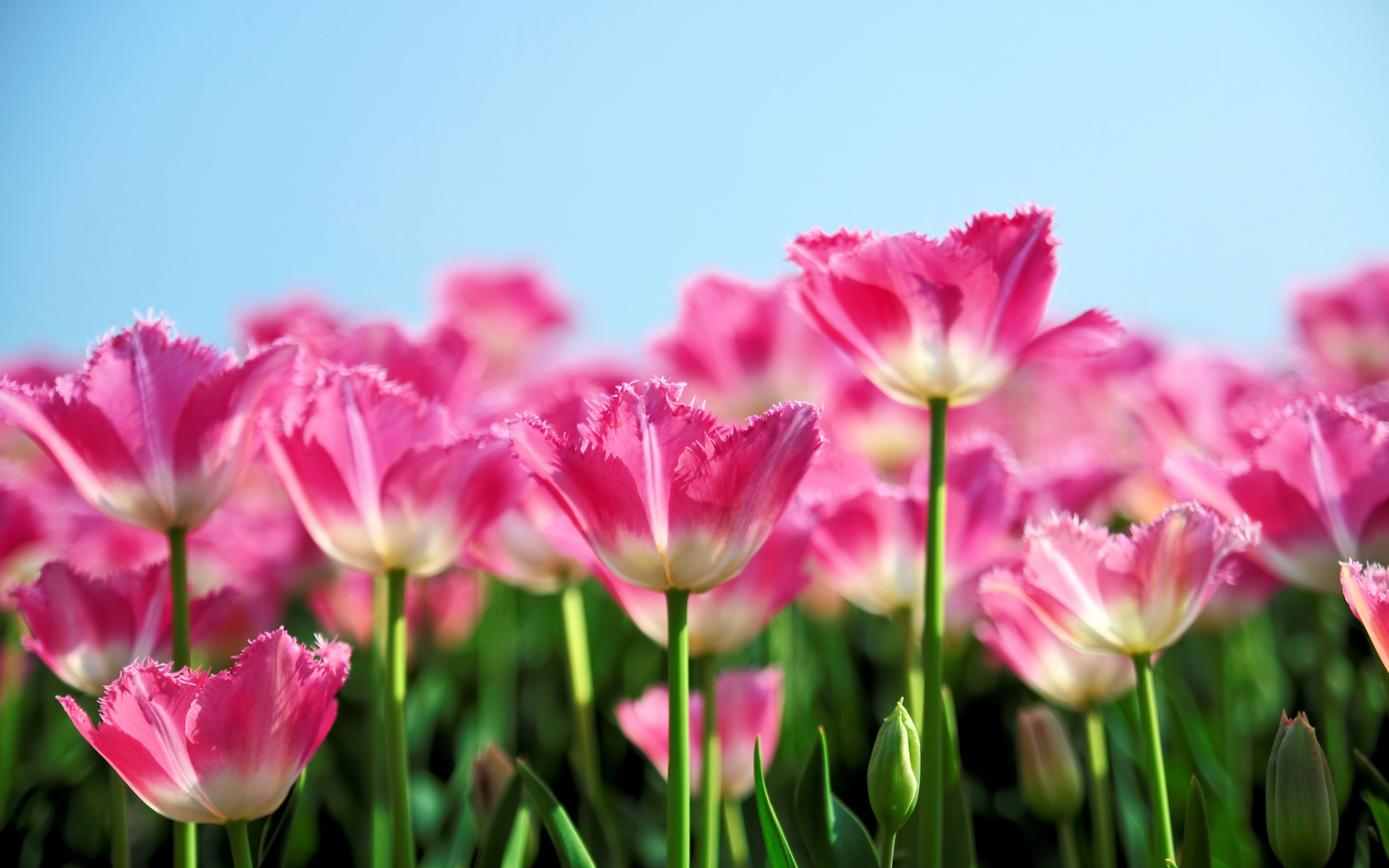 Tulips Pink Flower Garden Images Free Download Pics